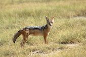 A Black-backed Jackal Standing