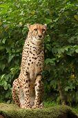 Cheetah posing