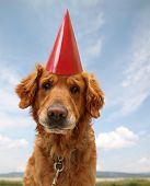 a labrador retriever with a red party hat on