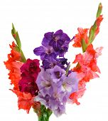 bouquet of gladioluses isolated on white background