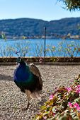 foto of peahen  - Indian peacock bird outdoor with beautiful background - JPG