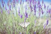 picture of butterfly-bush  - Butterfly at Lavender Bush - JPG