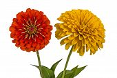 picture of zinnias  - Flowers of zinnia  - JPG