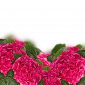 hortensia border