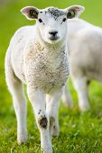 picture of spring lambs  - Little lambs in the meadow at spring time the Netherlands - JPG