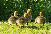 image of mother goose  - Photo of Canadian goslings running to catch up with their mother - JPG