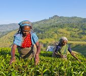 Sri Lankan Women Picking Tea Leaves in The Hills