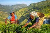 Female Tea Pickers in Plantage, Sri Lanka