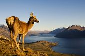 foto of herbivore animal  - Wild Deer On a Mountain Looking Over Lake and Mountain Range - JPG
