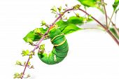 image of green caterpillar  - Green tomato hornworm caterpillar - JPG