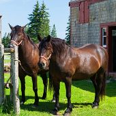 stock photo of horse-breeding  - The Canadian horse is a horse breed from Canada  that is a strong - JPG