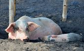Farm Pig With A Piglet Resting In A Mud
