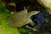 Chinese Softshelled Turtle (pelodiscus Sinensis)