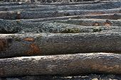 Felled Oak Tree Trunks