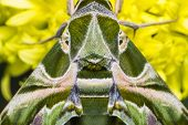 stock photo of oleander  - Close up of Oleander Hawk - JPG