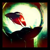 Instagram Retro Style Photo Of A Siamese Fighting Fish - Beta Fish In A Fish Bowl