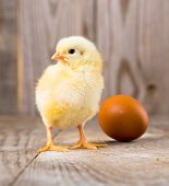 little yellow chicken on a wooden background