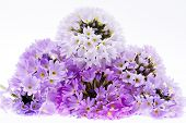some violet spring flowers of primula isolated on white background