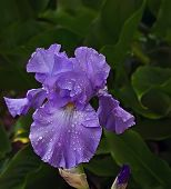 Purple Iris With Water Drops