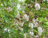 Gossypium Plant