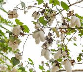 foto of boll  - Cotton Boll Of Gossypium Plant Isolated On White Background
