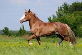 Beautiful heavy draft horse mare galloping on field background