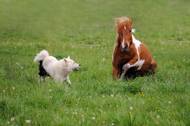 foto of laika  - Spotted horse plays with dog Laika on the background of grass - JPG