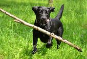 image of labradors  - view of running happy dog black labrador - JPG