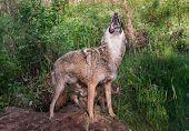 Adult Coyote (canis Latrans) Howls