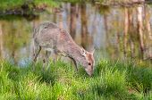 White-tailed Deer (odocoileus Virginianus) Feeds Alongside Pond