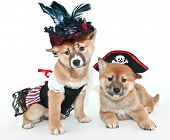image of mating  - Two super cute Shiba Inu puppies dressed up in pirate outfits on a white background - JPG