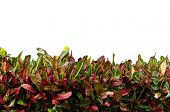 picture of crotons  - Codiaeum variegatum leaves isolated on white background - JPG