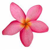 Pink Frangipani Isolated On White Background
