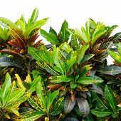 foto of crotons  - Codiaeum variegatum leaves isolated on white background - JPG
