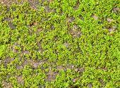 Closeup On Green Moss.