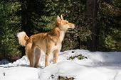 foto of eskimos  - Eskimo dog the stands in the snow on a sunny day in the forest and looking up