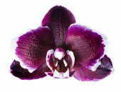 Closeup Of Head Dark Cherry With White Rim Orchid Phalaenopsis Is Isolated On White Background