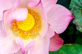 Close Up Pink Lotus Blossom In The Conner Of Picture: Lotus And Swamp Background