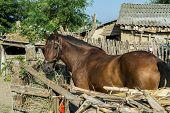 Brown Horse On A Romanian Farm