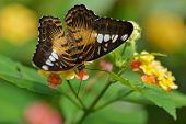 stock photo of lantana  - Brown Clipper butterfly and Lantana flowers from Butterfly garden - JPG
