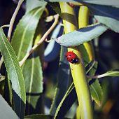 Ladybug On Green Branch