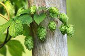 Green hops is used as an ingredient of beer