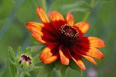 Close up of beautiful Zinnia flower