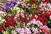 Snapdragon flowerbed.