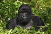 Mountain gorilla and silverback