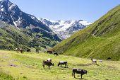 Cows And Taschachferner, Austria