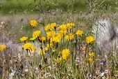 Dandelions In The Austrian Alps