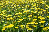 picture of dandelion  - Yellow dandelion field in the summer - JPG