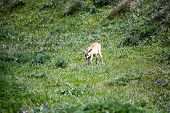 foto of blacktail  - Blacktail deer in the fields of Point Reyes National Seashore Marin County California - JPG
