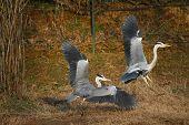 beautiful specimen of gray heron